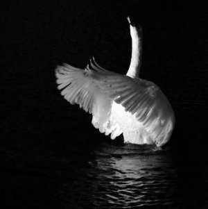 swan_song_by_bazz_photography-d5kgwa2